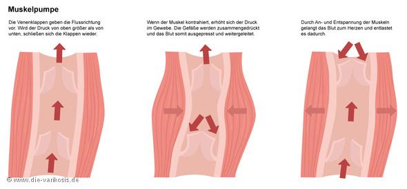 Funktion und Bedeutung der Muskelpumpe